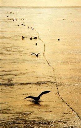 Ptaki interesowaly sie sieciami nawet podczas wydawania...
