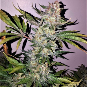 blueberry smoothie indica cannabis seeds