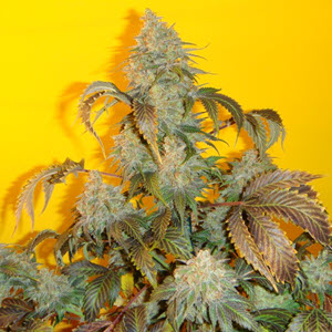 old time indiana bubblegum sativa-indica cannabis seeds