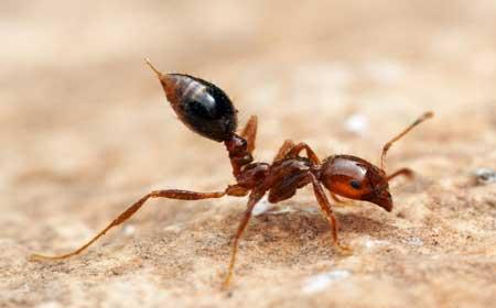 Черные муравьи кусаются или нет. Лечение аллергии на муравьев. Осложнения и последствия