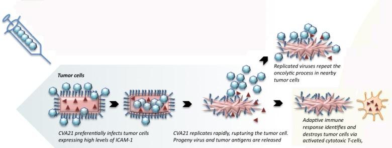 Онколитические вирусы: иммунологическое лечение раковых заболеваний