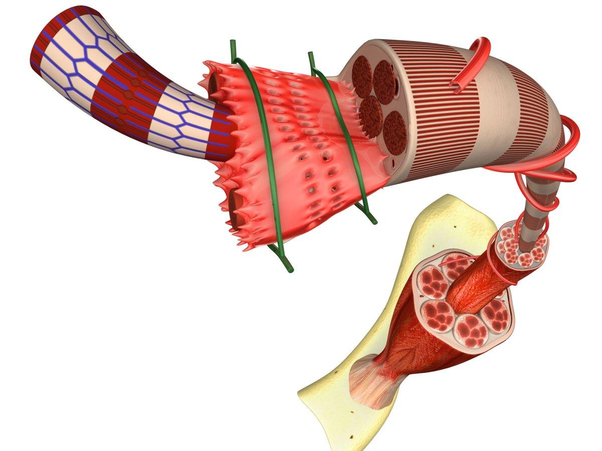 Голодирсен: второй препарат для терапии мышечной дистрофии Дюшенна