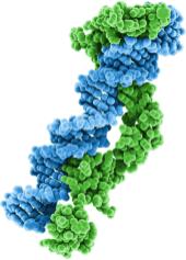 Использование гибридного промотора, составленного из энхансера цитомегаловируса и куриного бета-актина, определяет непрекращающуюся и стабильную экспрессию SMN.