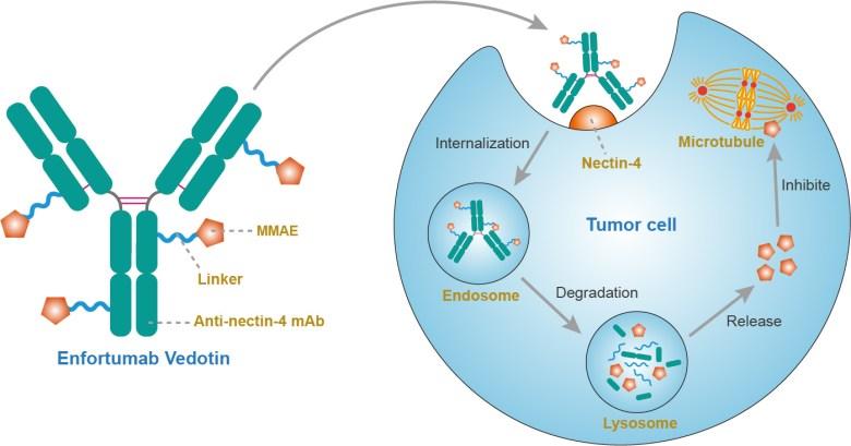 «Падсев»: мощное таргетное лечение рака мочевого пузыря