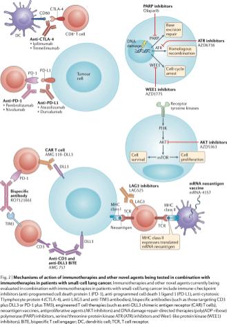 Механизм действия иммунотерапевтических и других лекарственных средств, разрабатываемых в лечении мелкоклеточного рака легкого. Изображение: Nat Rev Clin Oncol. 2020 Feb 13.