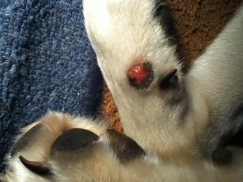 Identify mosquito bites on dogs