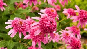 Pink Bee Balm flowers planted outside.