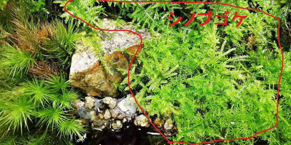 マット状に成長するシノブゴケ