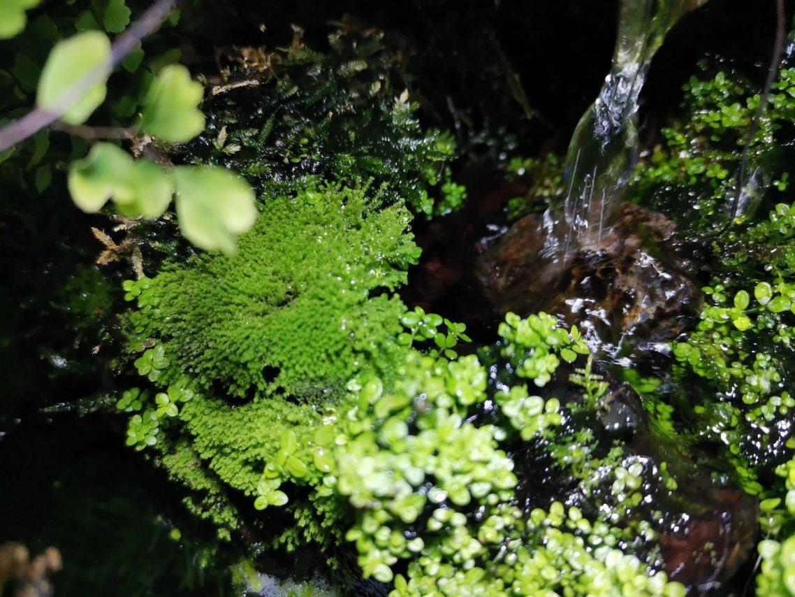 二段の滝アクアテラリウム水槽のカマサワゴケ