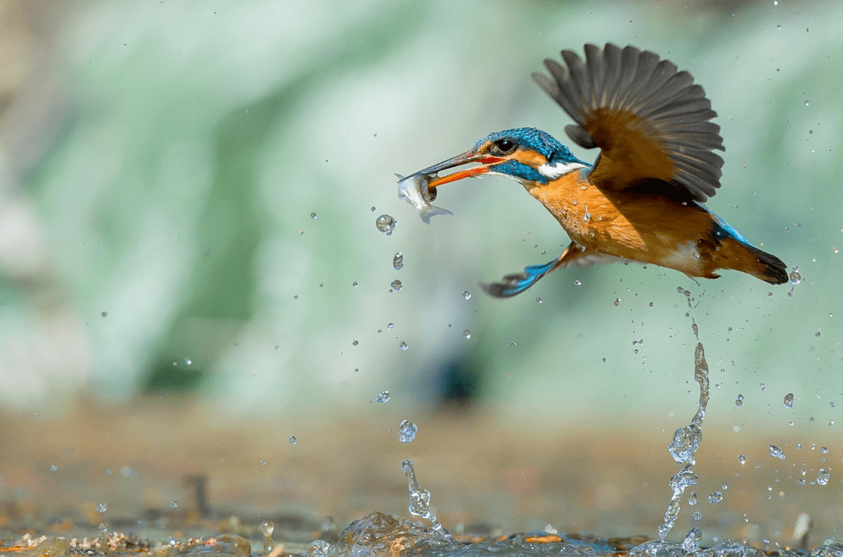 Kingfisher at work // Moss and Fog