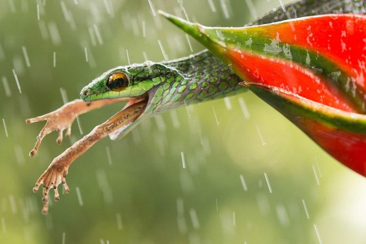 smithsonian-photo-contest-snake-eating-frog