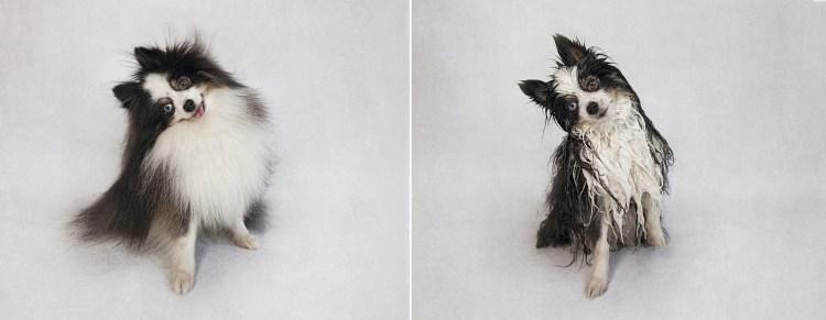 dry_dog_wet_dog_photo_series_Serena_hodson_08