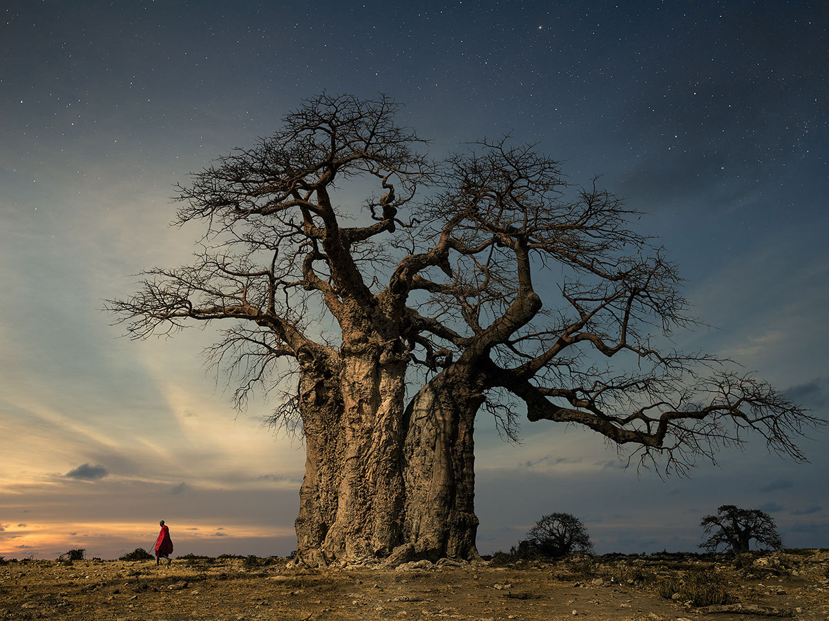 beautiful baobab twilight moss and fog