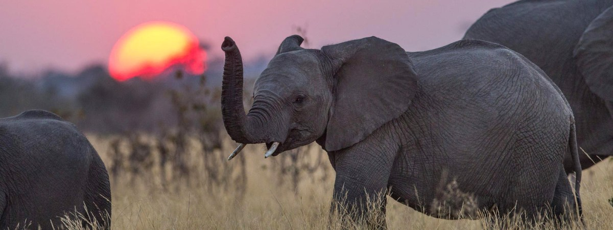 Due for extinction: African Elephant
