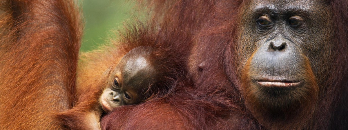 orangutan moss and fog