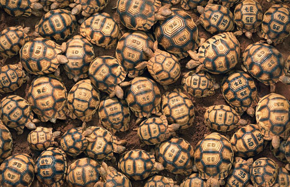 ploughshare tortoises