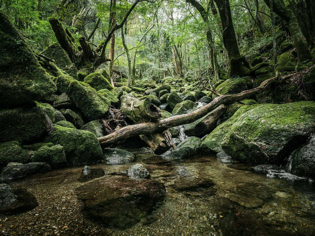 Yakushima Island's Ancient Forests