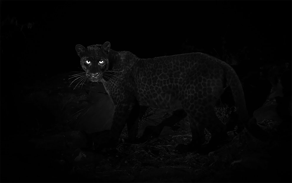 First Sighting in 100 Years - Extremely Rare and Beautiful Black Leopard Photographed in Africa