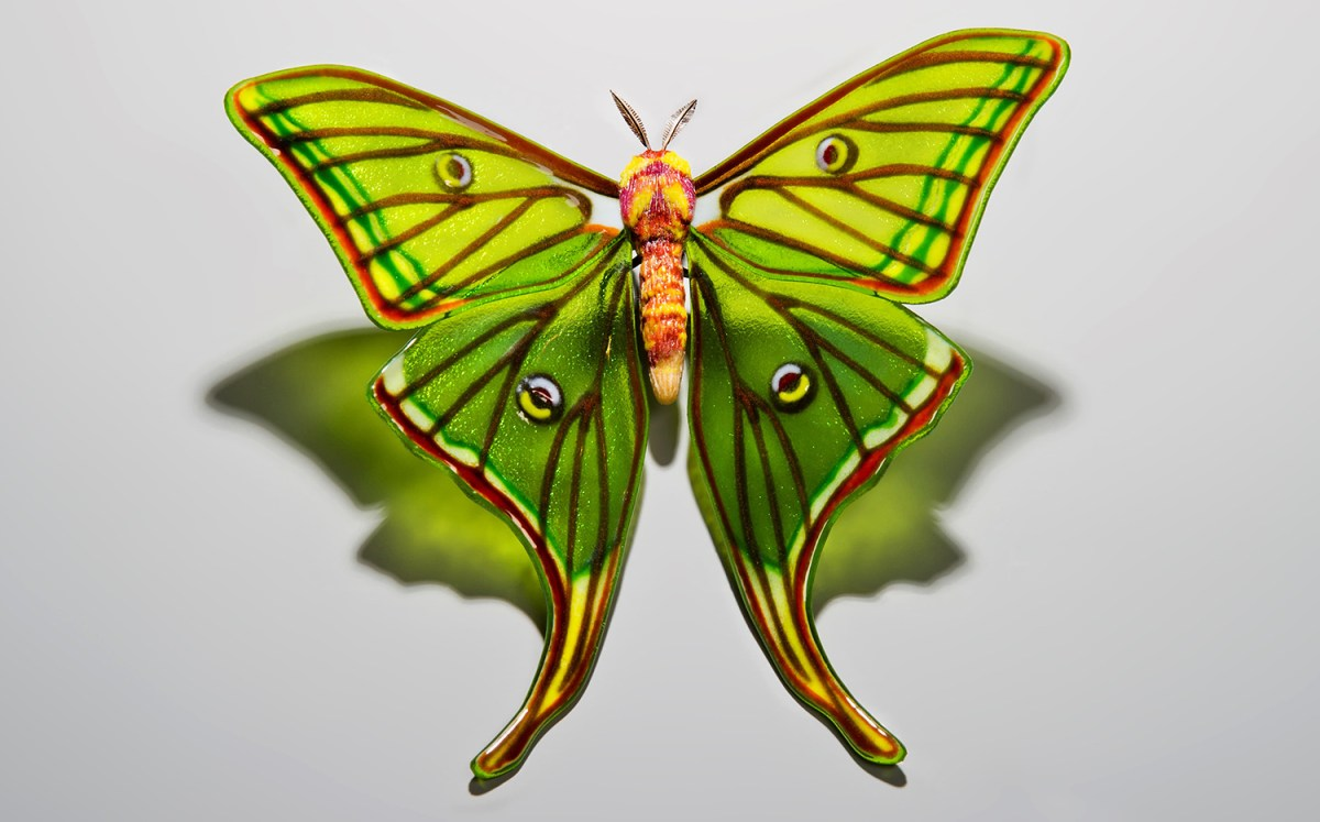 Spanish-Moon-Moth-Graellsia-isabellae-1-min