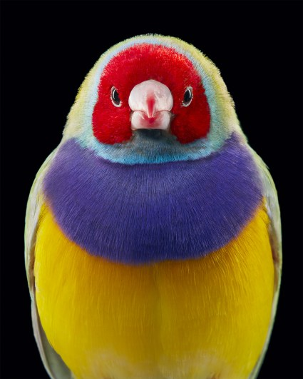 colorful finch