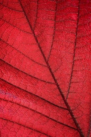 Backlit Red Leaf Mural - Jim Zuckerman| Murals Your Way