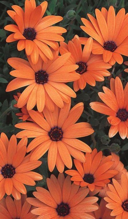 Orange Symphony - Osteospermum hybrid