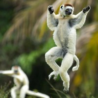 Sifakas Lemurs Pogo Their Way Around