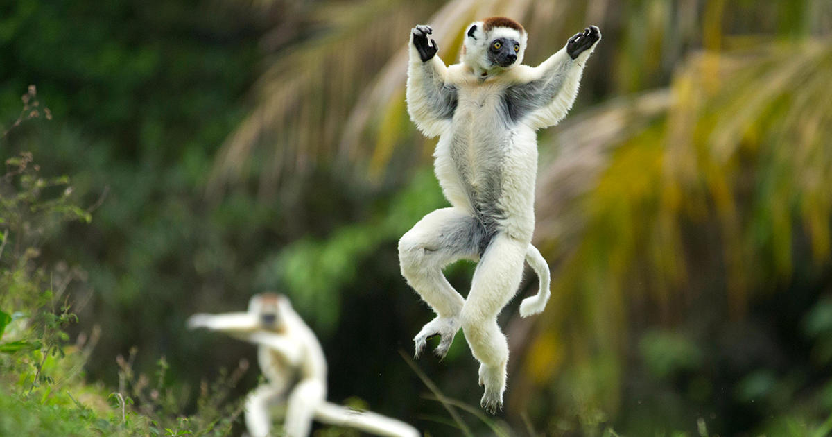 Verreaux Sifaka (Propithecus verreauxi) jumping ('dancing') across ground, Madagascar