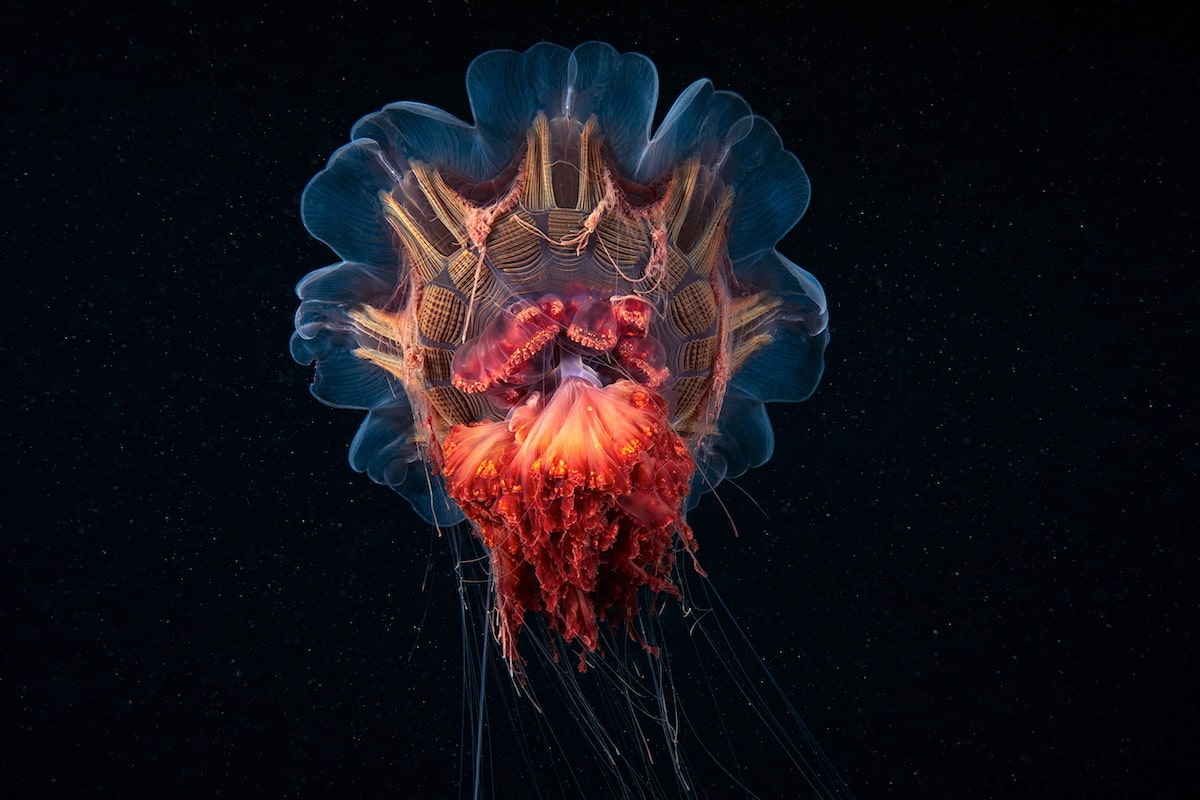 Alexander-Semenov-underwater-photography-Scyphozoan-jellyfish-Lions-mane-jellyfish-Cyanea-capillata-11