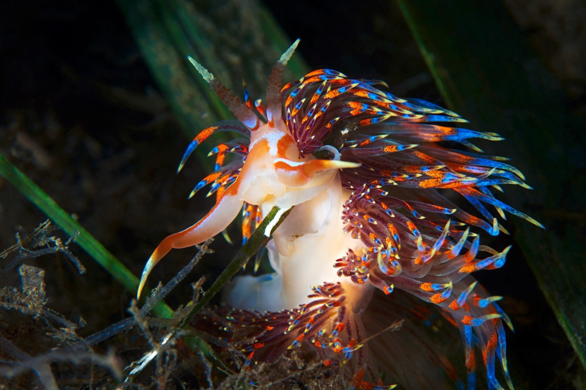 Nudibranchia-Godiva-quadricolor