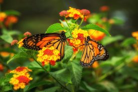 Fall Lantana with butterflies