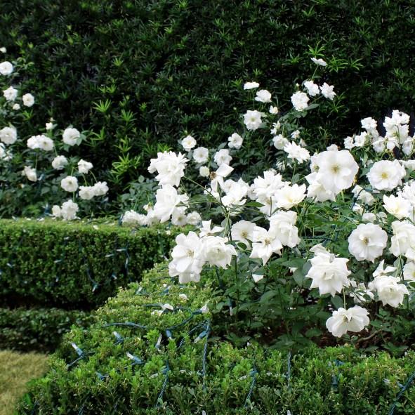 Looser Roses