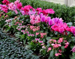 Shades of pink Cyclamen lined with Dianthus.