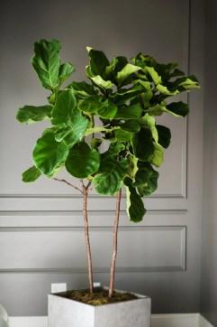 Image result for fiddle-leaf fig