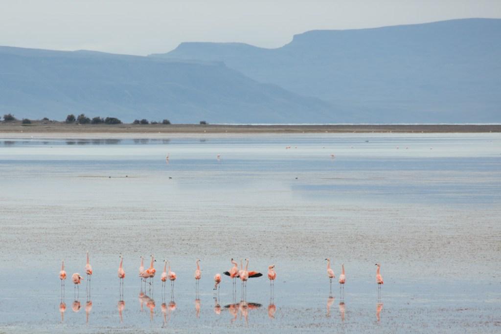 flamingoselcalafate