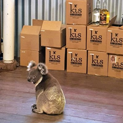 Koala en la fábrica.