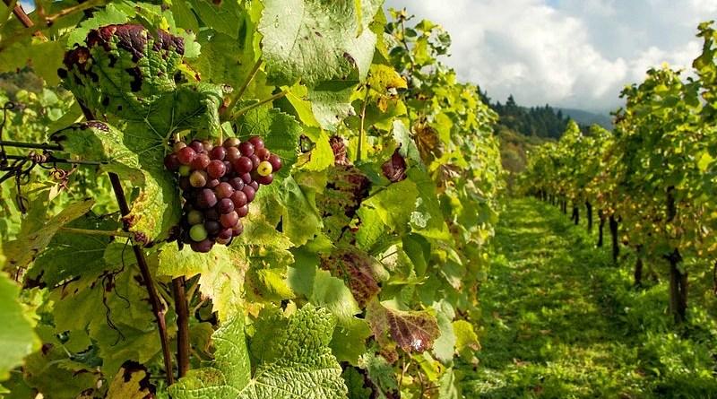 Producción récord de vino