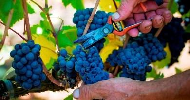 Nuevos panoramas trae consigo la temporada de vendimia del año 2020