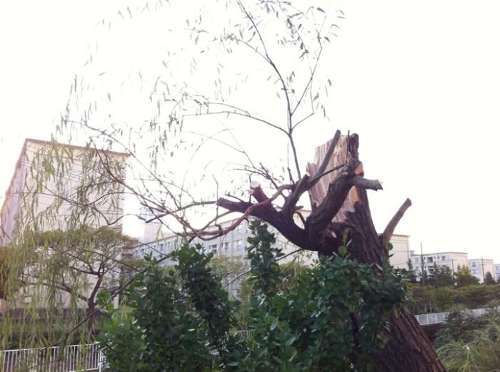 2011年台風15号で倒れた金沢八景の柳の木