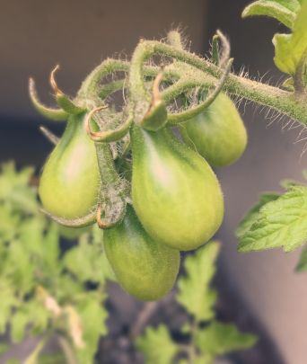 Can't wait to eat my yellow pear cherry tomatoes