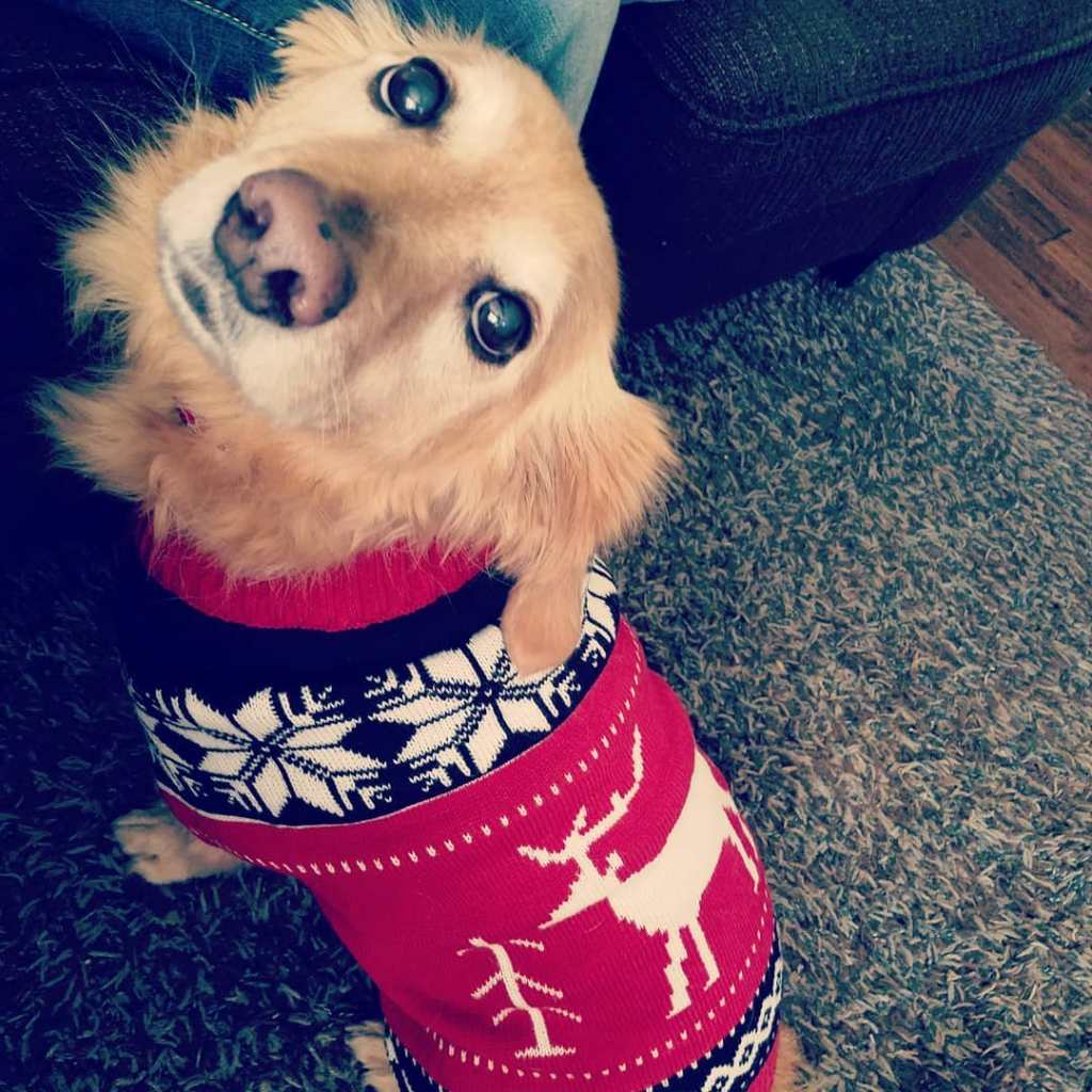 Showing off his new winter sweater! MotherhoodAndBeyond corgi dogsofinstagram goldenretrieverhellip
