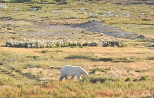 Near Arviat, north of Churchill on Western Hudson Bay, August 2018.