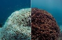 Left: Bleached corals turn a ghostly white color underwater. If they can't recover quickly enough, the bleached corals die and algae coats the once-colorful surface. These images from Lizard Island, part of the Great Barrier Reef, capture the aftermath of coral mortality. Image courtesy of The Ocean Agency / XL Catlin Seaview Survey