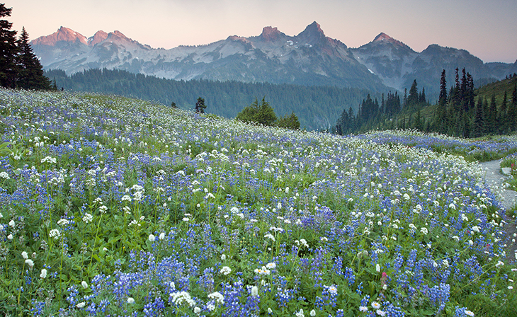 a photo of a wildflower filled meadow at Mount Ranier National Park
