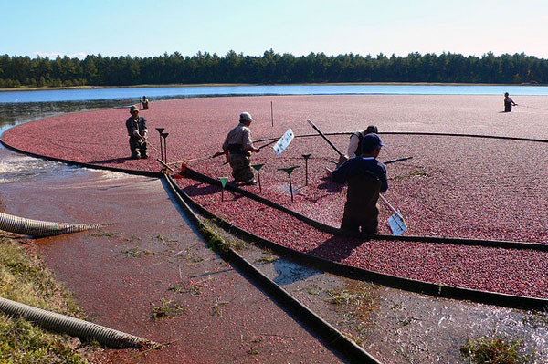 Workers standing in pond with floating barriers corralling millions of floating cranberris.