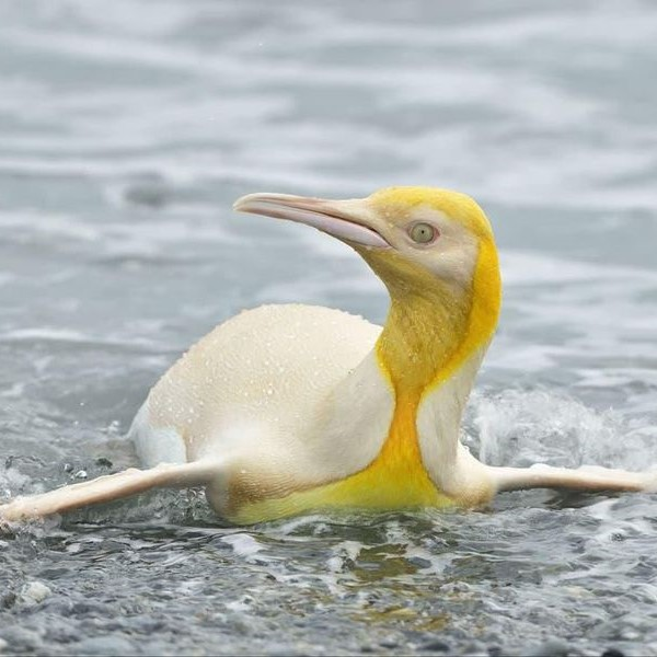 Penguin with yellow face and chest, cream body.