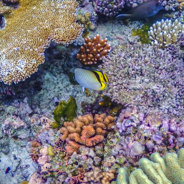 The vibrant corals of rhe Great Barrier Reef, one of the seven natural wonders of the world, are not expected to survive much longer as the planet continues to warm.