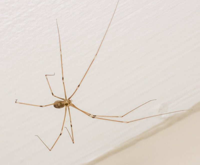 Small-bodied spider with very long thin legs.