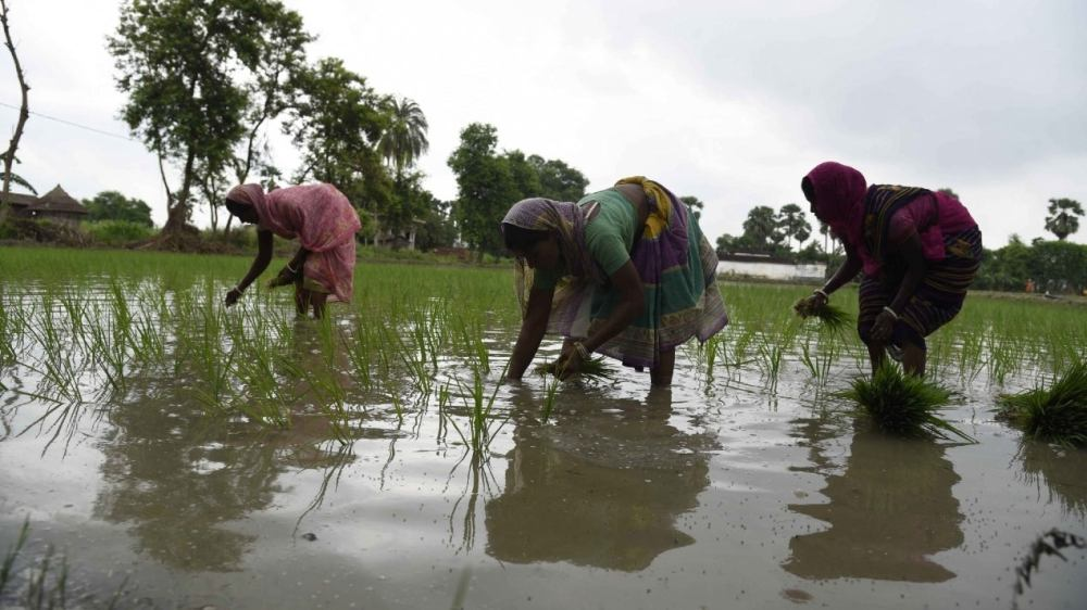 Planting of paddy saplings in an agricultural field on the outskirts of Patna on July 7, 2020. (IANS)
