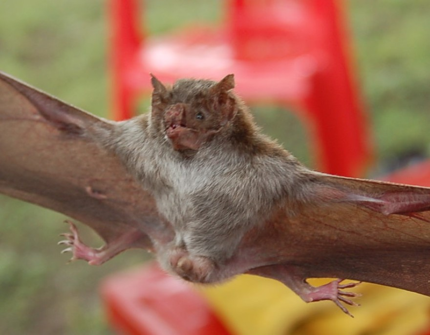 A flying vampire bat with it's wings and legs spread out wide.